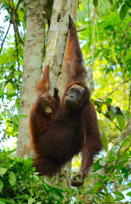 Sauver les orangs-outans et les éléphants de Bornéo - Hutan
