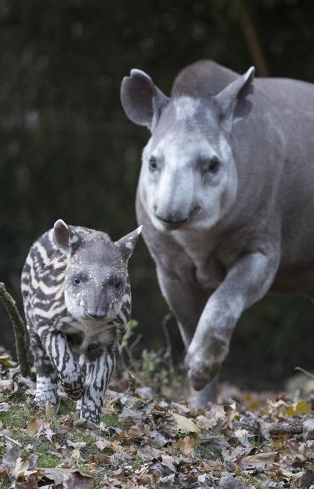 Étudier l'écologie des tapirs terrestres - IPE