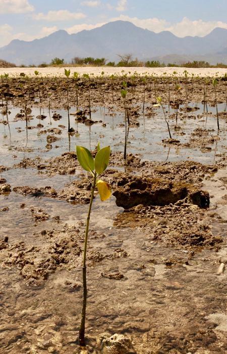 Replanter la mangrove au Sénégal - Oceanium