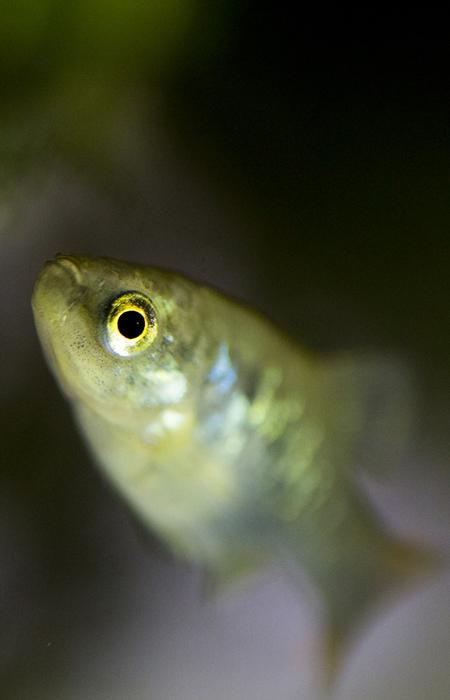 Réintroduire les poissons tequila - Université du Michoacana