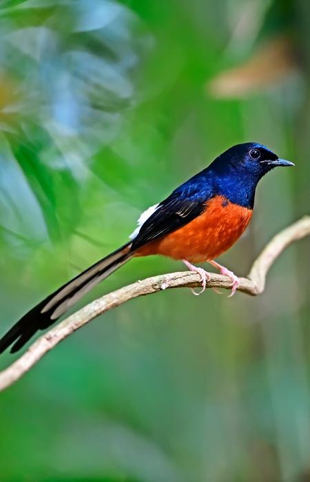 Stopper le trafic des oiseaux chanteurs - SOCP