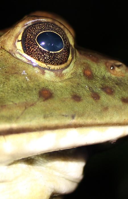 Endiguer la prolifération de grenouilles taureaux en Sologne - Société Herpétologique de France/ CDPNE