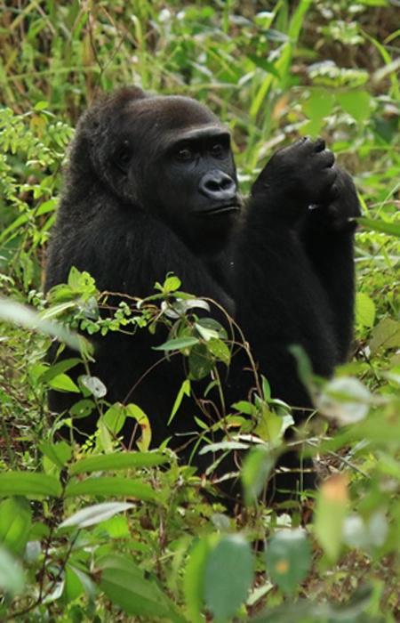 Réintroduire les gorilles des plaines de l'Ouest - The Aspinall Foundation