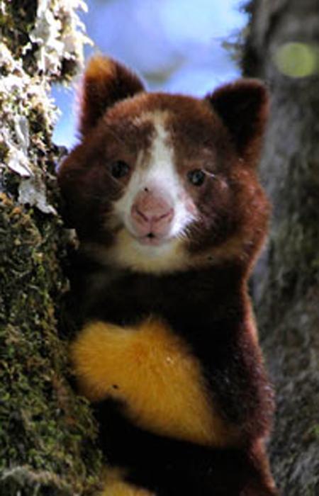 Protéger l'habitat des Dendrolagues - Woodland Park