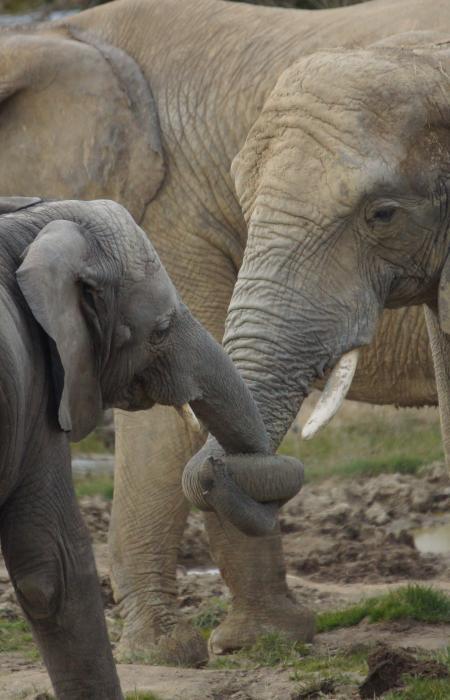 Analyser les manipulations de la trompe des éléphants - Projet ELEPHANTMAN - CNRS/MNHN