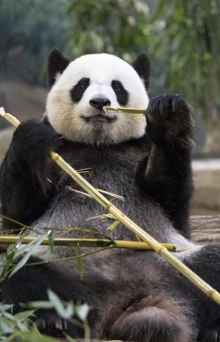 Reproduire le Panda géant et comprendre le phénomène de diapause embryonnaire - Université de Gand